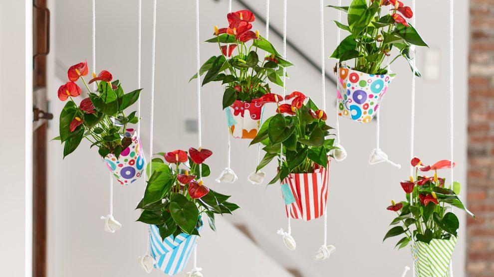 Anthurium Fiesta in hanging pots
