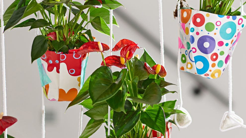 Anthurium Fiesta in hanging pots