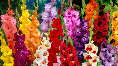 Bloomifique flower crush gladiolus