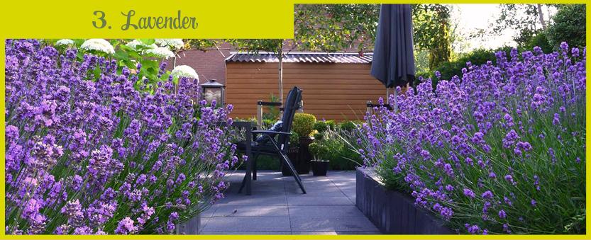 Planten_muggen_lavender_ENG