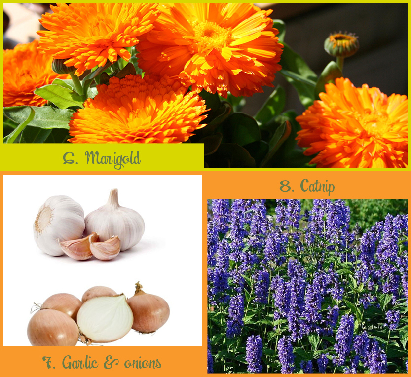 Planten_muggen_onion&gralic_marigol&catnip_ENG