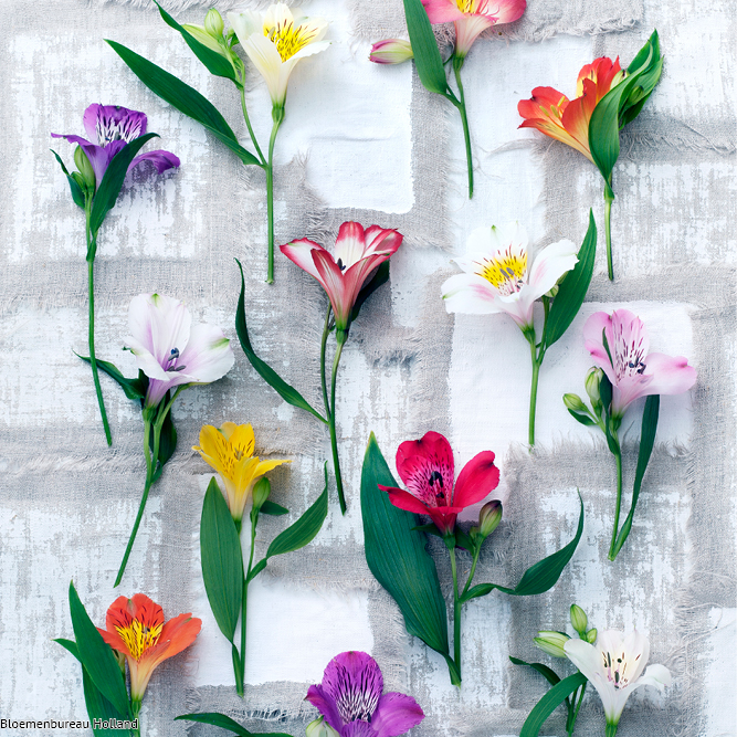 favouriteflower_meaning_alstroemeria