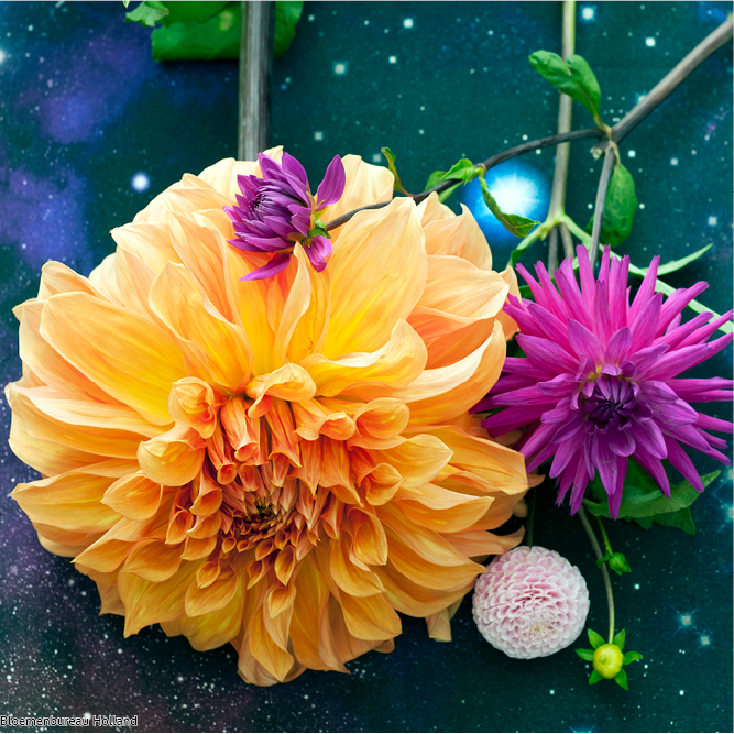 favouriteflower_meaning_dahlia