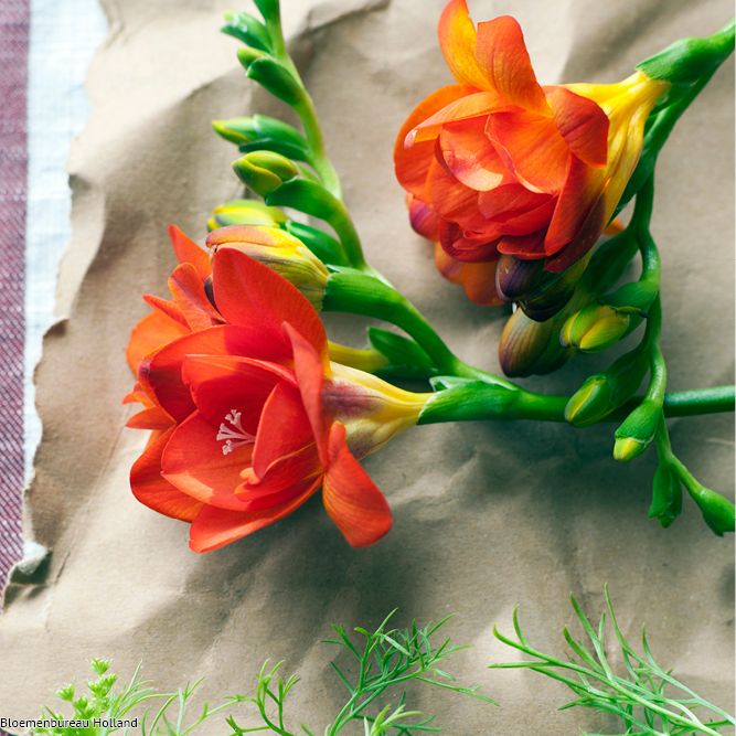 favouriteflower_meaning_freesia
