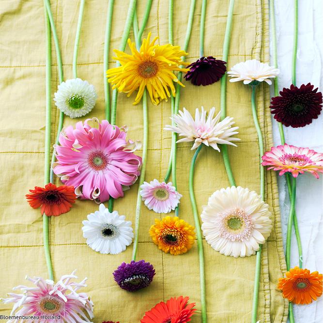 favouriteflower_meaning_gerbra
