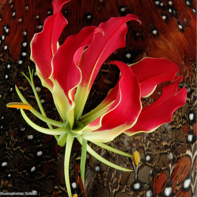 favouriteflower_meaning_gloriosa