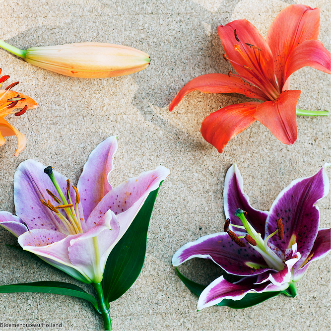 favouriteflower_meaning_lily