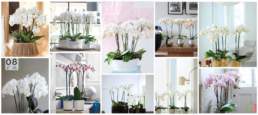 50 shades of white & light phalaenopsis