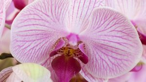 Get to know the origin and meaning of the phalaenopsis