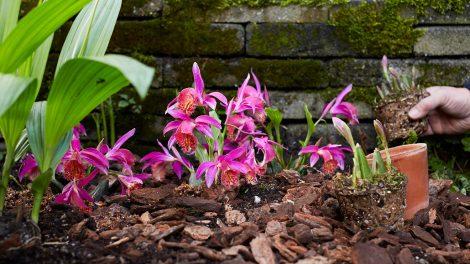 Garden Orchid