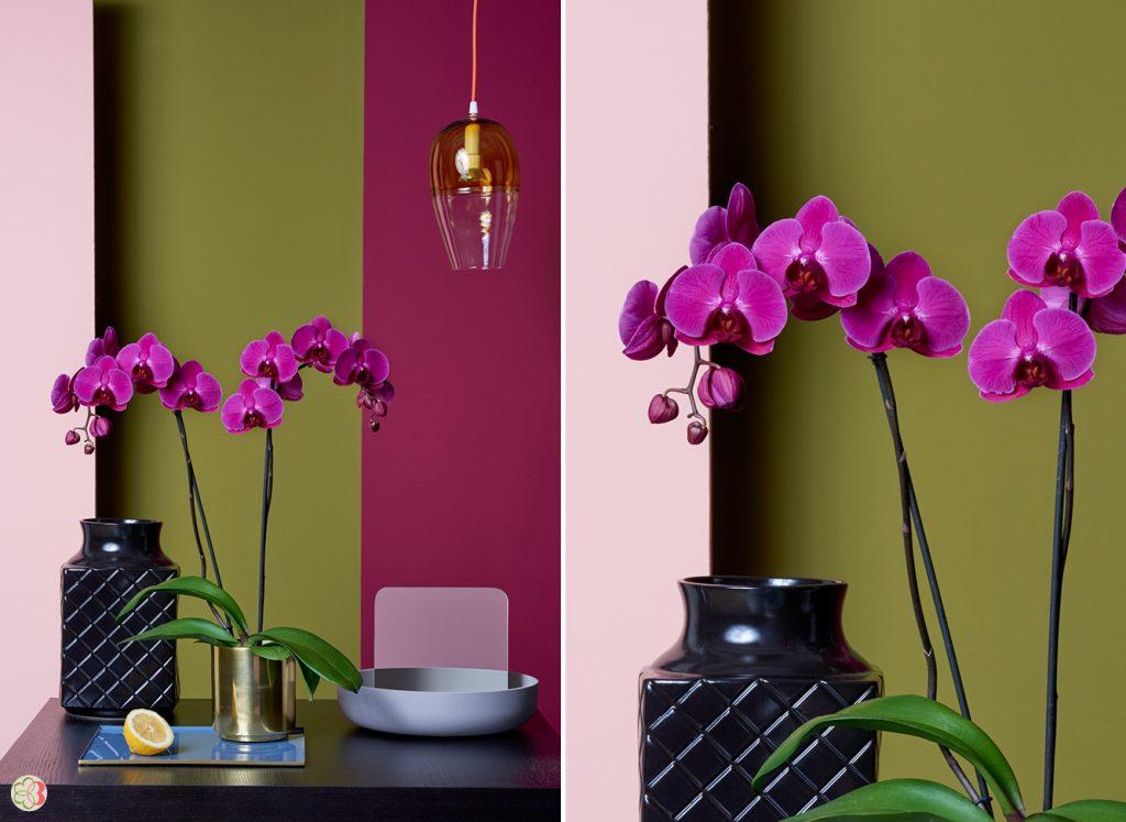 Stellenbosch Phalaenopsis