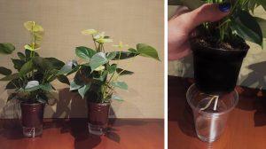 Anthurium plant with aquastick