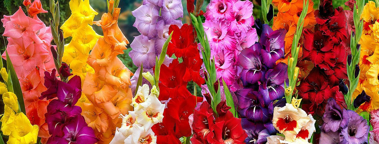 Bloomifique flower crush gladiolus