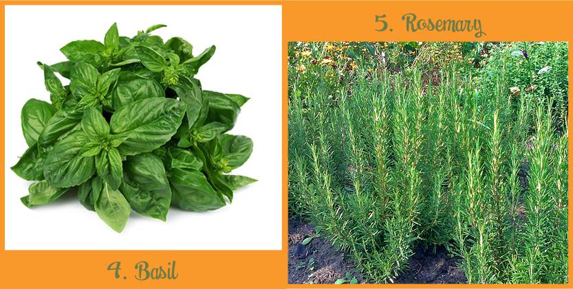 Planten_muggen_basil&rosemary_ENG