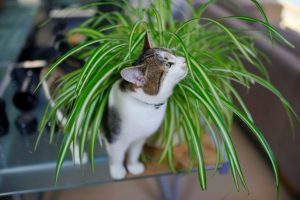spider grass is safe for cats