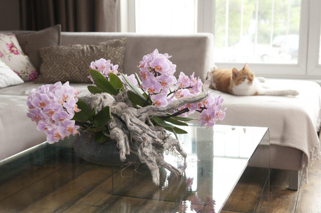 Phalaenopsis Orchid living room