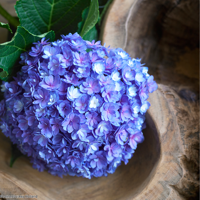 favouriteflower_meaning_hydrangea
