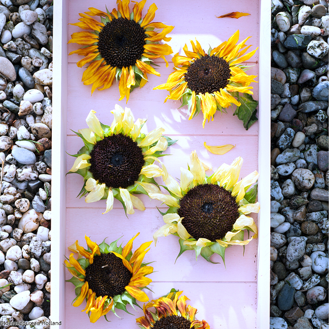 favouriteflower_meaning_sunflower