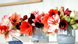 New christmas favourite the Amaryllis
