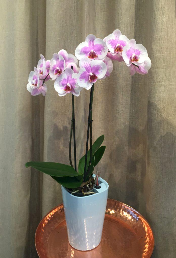 lechuza-orchidee