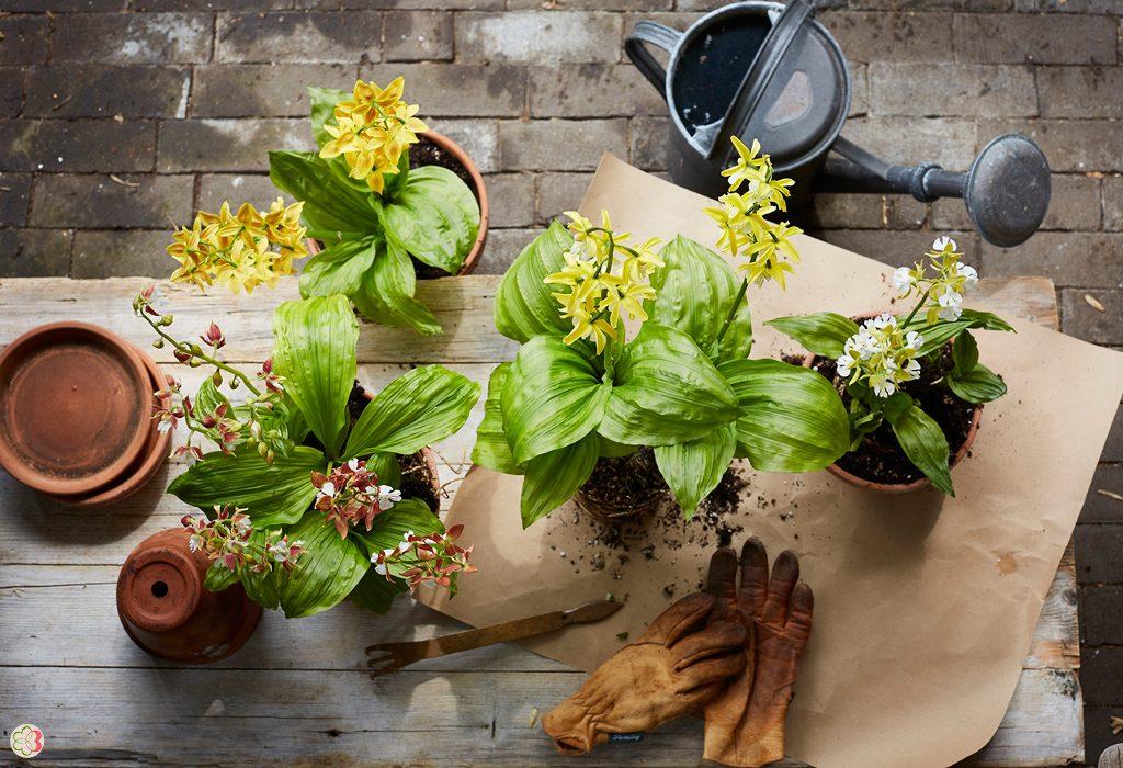 Garden Orchid Calanthe