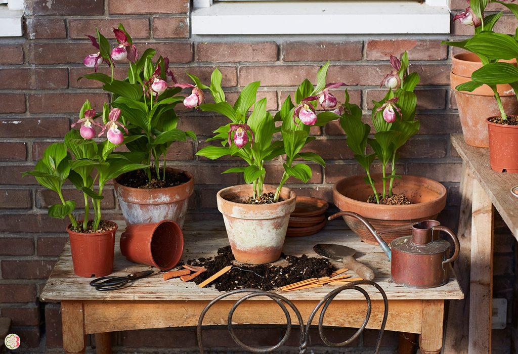 Garden Orchid Cypripedium