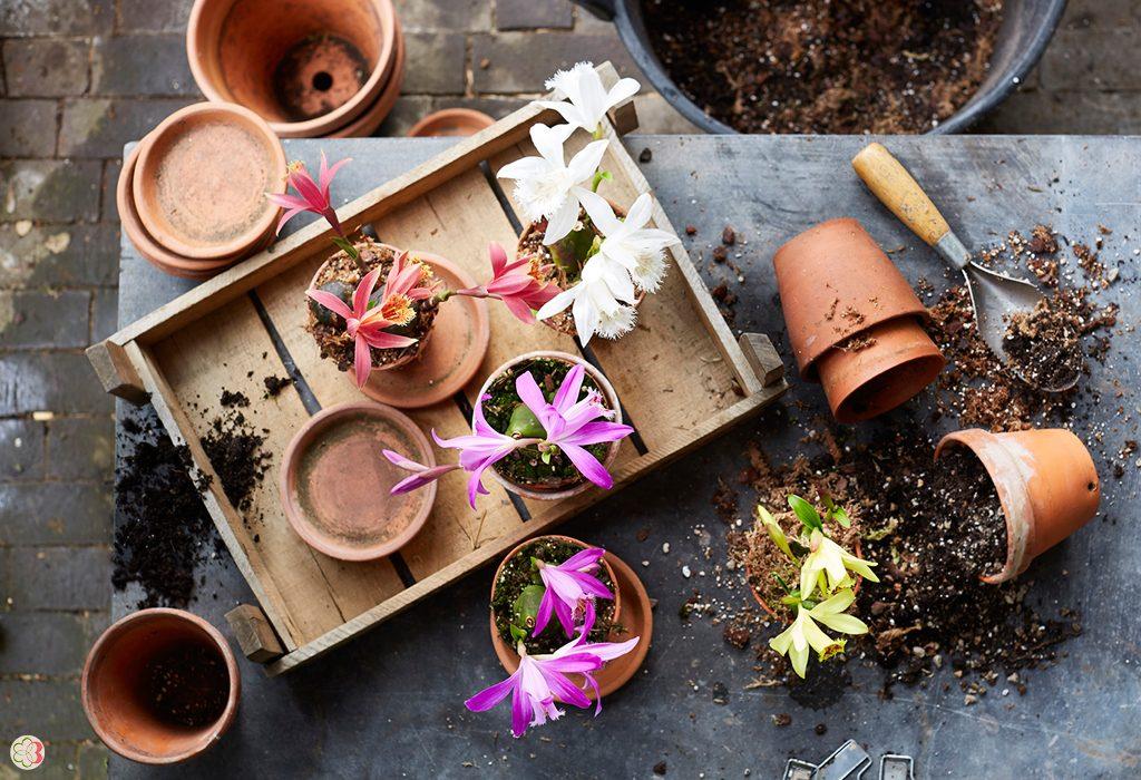 Garden Orchid Pleione