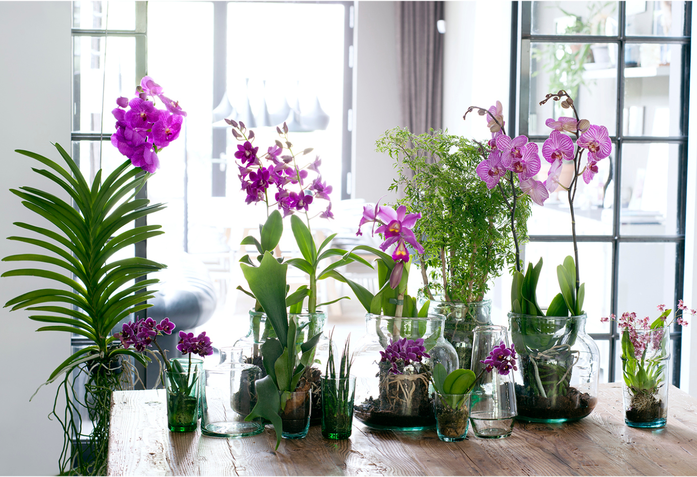 Vanda, Phalaenopsis, Cattley and Brassia in an urban junle