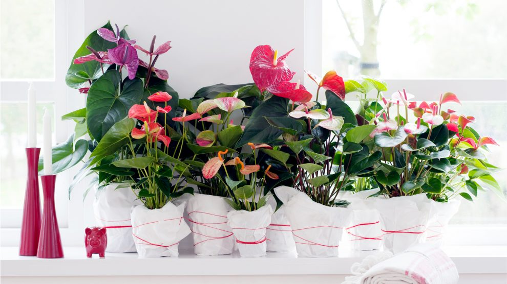 Meet the strongest plant even: the Anthurium and learn how to take care of her.