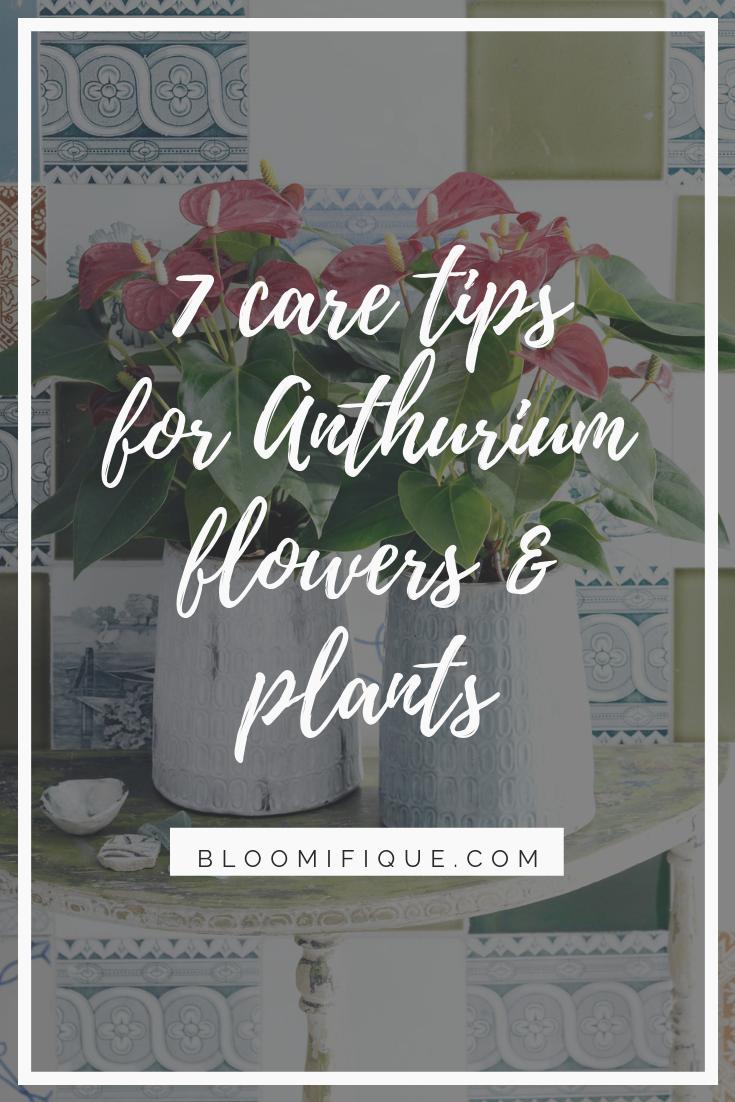 Anthurium care: 7 tips for anthurium cut flowers and pot plants