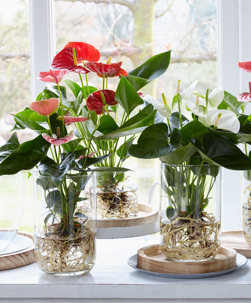 Groen in GLas: Anthurium op water