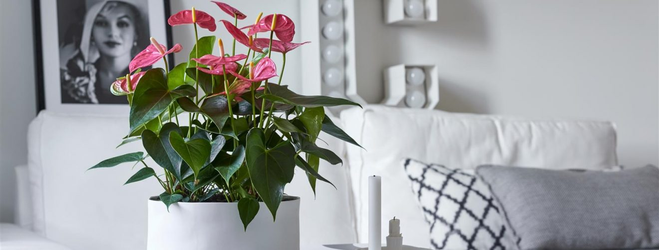 Anthurium verzorging tips