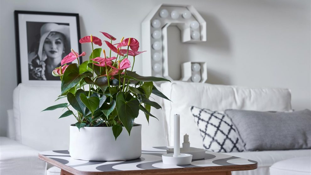 Anthurium care: 7 tips for anthurium cut flowers and pot plants