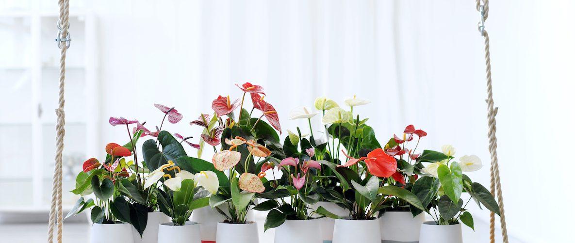 Anthurium colors