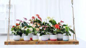 De verschillende kleuren anthurium snijbloemen en planten