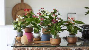 Buy anthurium cut flowers and pot plants