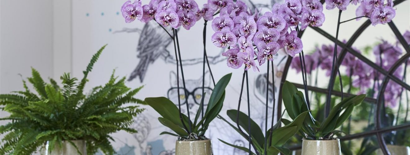 Buy orchids online and in stores