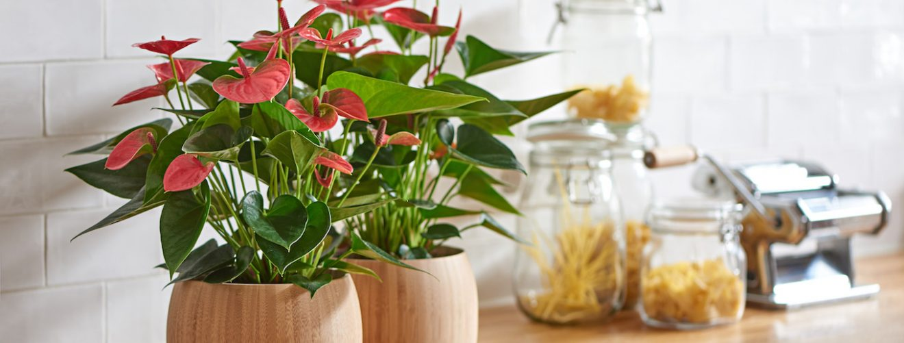 Anthurium pruning