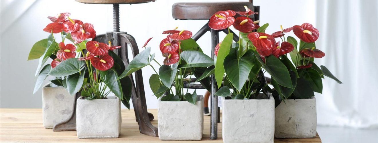 Repotting your anthurium plant