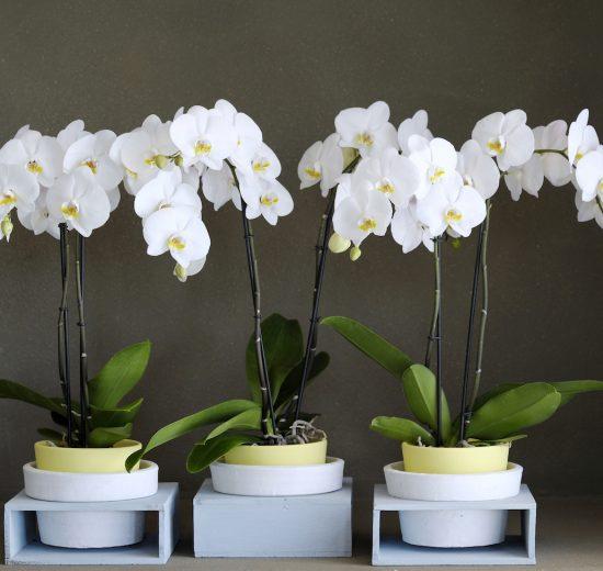Een orchidee opnieuw laten bloeien
