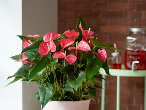 Wat te doen als je anthurium niet bloeit