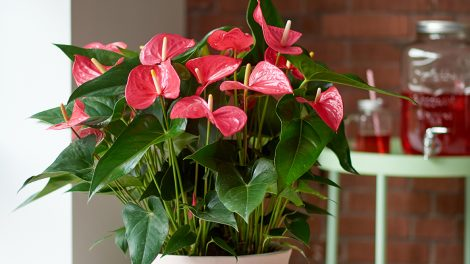 How to get an anthurium plant to bloom
