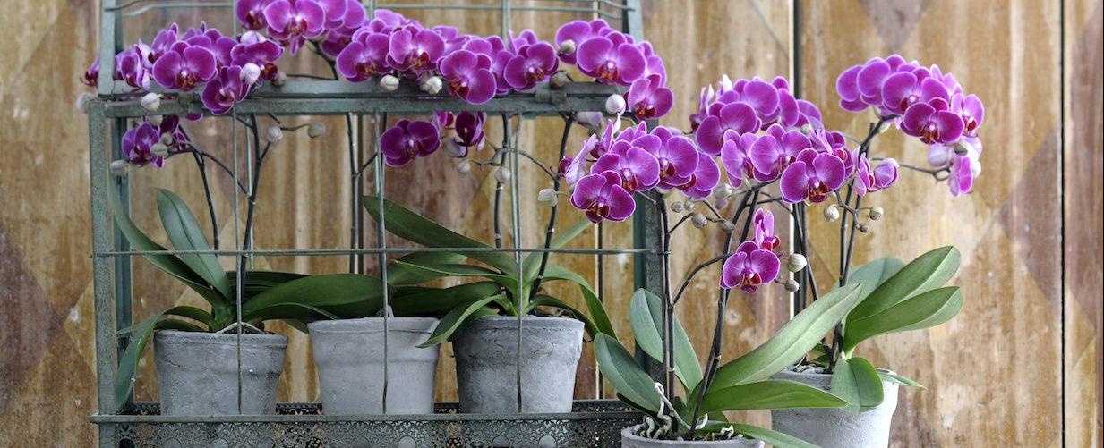 Orchidee potgrond gebruiken