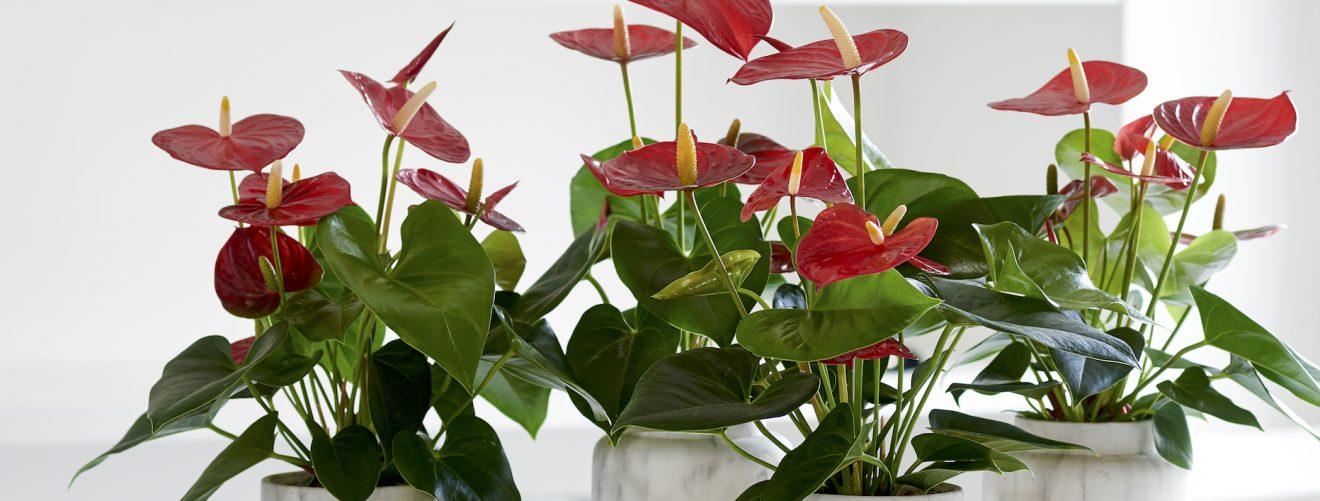 3x een kamerplant met hartvormig blad