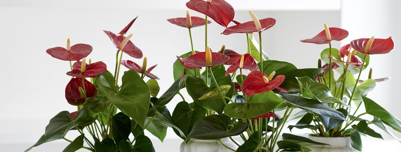 3 Houseplants With Heart Shaped Leaves
