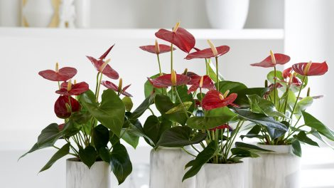 3 houseplants with heart-shaped leaves