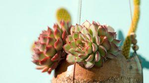 3 kamerplanten met roze bladeren