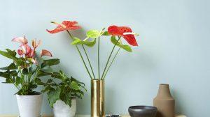 nieuwe soorten anthurium potplanten