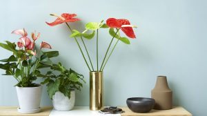 3 new anthurium pot plant varieties