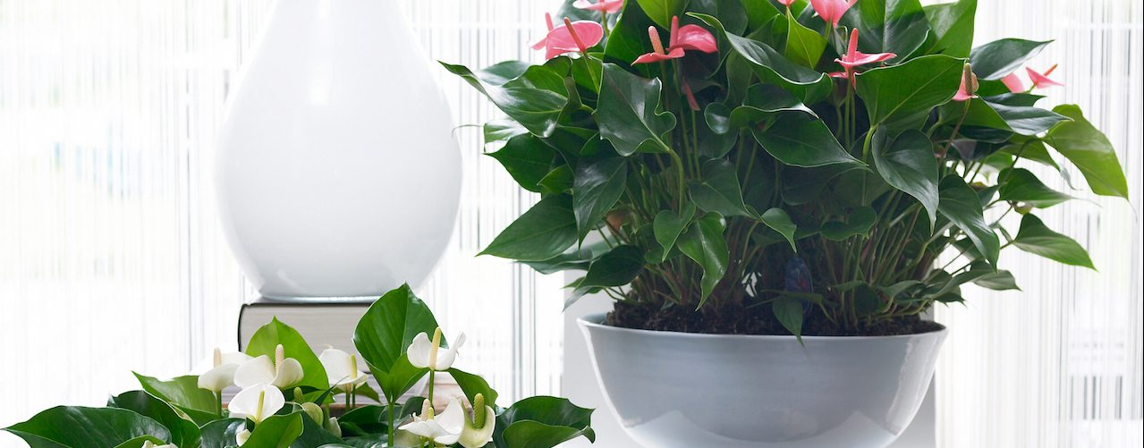 best place to keep your anthurium